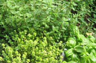 coltivare in vaso erbe aromatiche