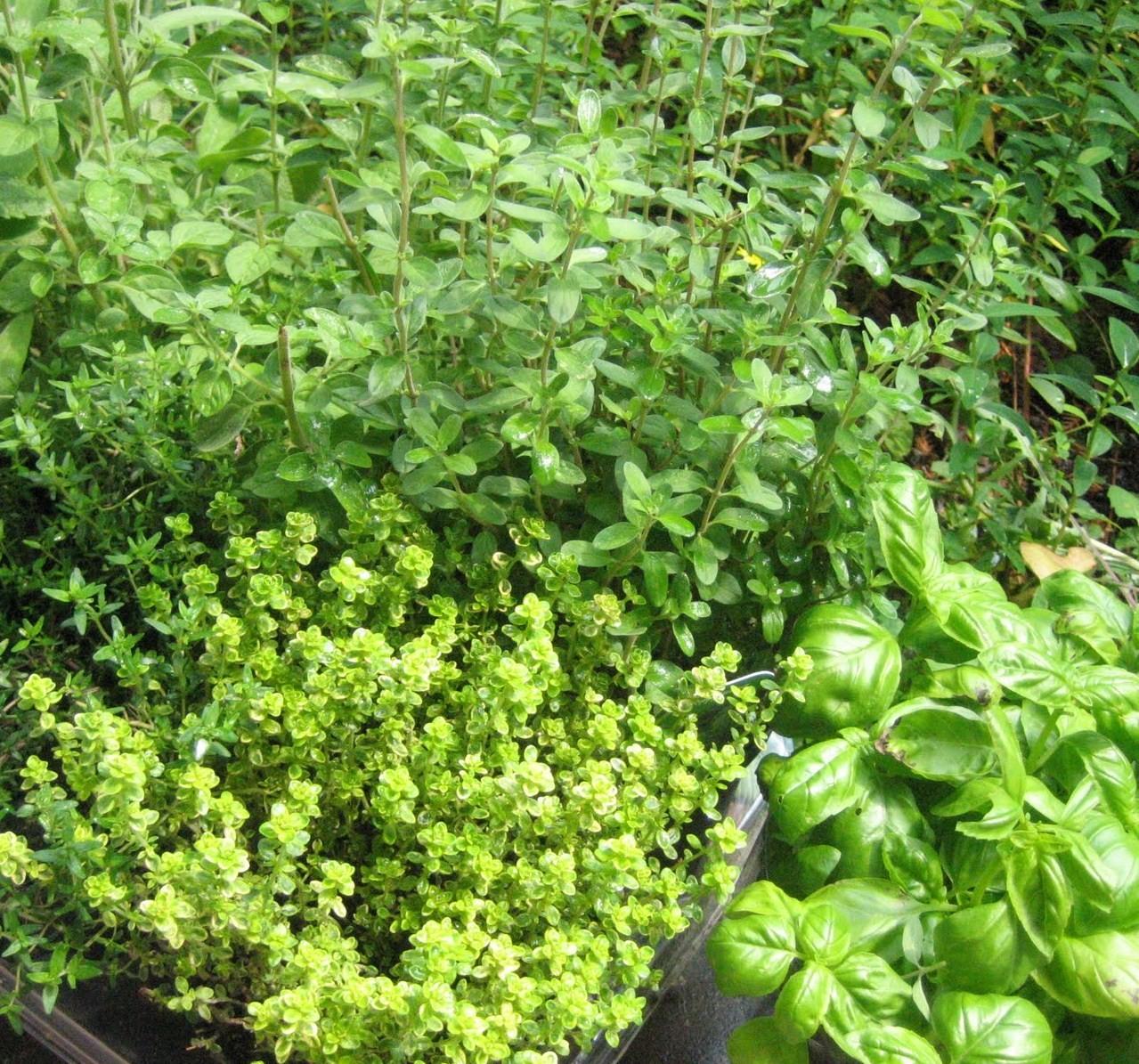 Orto in vaso 5 erbe aromatiche da coltivare e usare in cucina tecnichef - Erbe aromatiche in casa ...