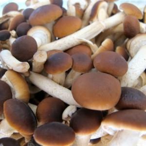 caratteristiche e usi funghi chiodini