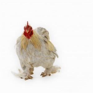 pollo organico