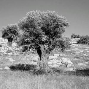 albero olive conservare