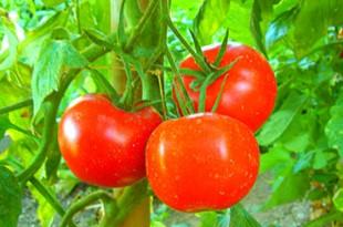 pomodorini per cucinare