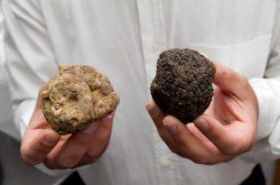 Differenze tra tartufo bianco e tartufo nero